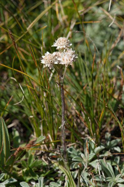 Antennaria carpatica (Wahlenb.) Bluff & Fingerh.