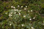 Photo 1/1 Antennaria carpatica (Wahlenb.) Bluff & Fingerh.
