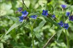 Photo 1/4 Buglossoides purpurocaerulea (L.) I.M.Johnst.