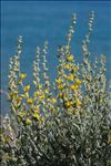 Photo 5/5 Anthyllis cytisoides L.