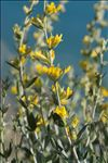 Photo 4/5 Anthyllis cytisoides L.