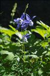 Aquilegia alpina L.
