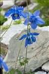 Photo 2/2 Aquilegia reuteri Boiss.