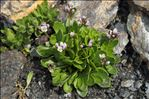 Photo 2/2 Arabis caerulea (All.) Haenke