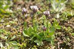 Arabis caerulea (All.) Haenke