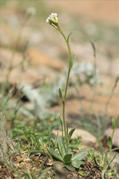 Arabis ciliata Clairv. var. ciliata