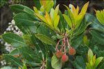 Photo 1/5 Arbutus unedo L.