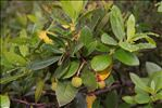 Photo 1/7 Arbutus unedo L.