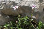 Arenaria purpurascens Ramond ex DC.