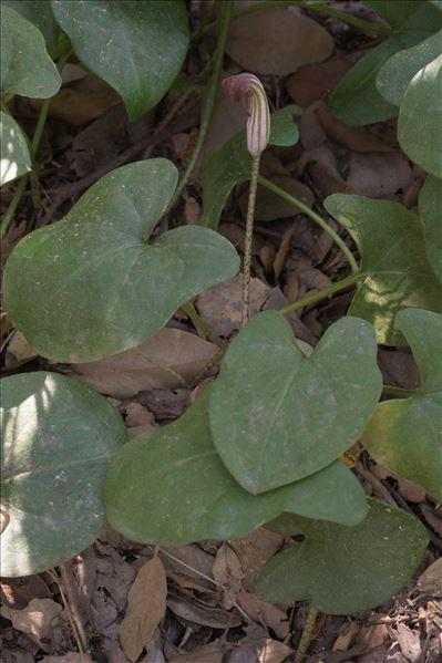 Arisarum vulgare O.Targ.Tozz.