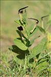 Aristolochia rotunda L.
