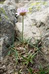 Photo 6/6 Armeria alpina Willd.