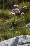 Photo 5/6 Armeria alpina Willd.