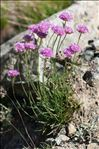 Photo 3/6 Armeria alpina Willd.