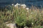 Armeria arenaria subsp. bupleuroides (Godr. & Gren.) Greuter & Burdet