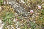 Photo 5/5 Armeria multiceps Wallr. subsp. multiceps