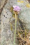 Photo 1/5 Armeria multiceps Wallr. subsp. multiceps