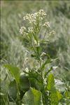 Armoracia rusticana G.Gaertn., B.Mey. & Scherb.