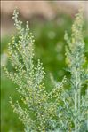 Photo 3/6 Artemisia absinthium L.