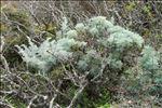 Photo 4/4 Artemisia arborescens (Vaill.) L.