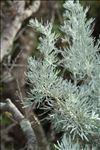 Photo 3/4 Artemisia arborescens (Vaill.) L.