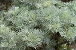 Photo 1/4 Artemisia arborescens (Vaill.) L.