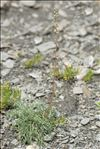 Photo 7/7 Artemisia borealis Pall.