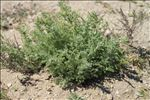 Artemisia caerulescens subsp. gallica (Willd.) K.M.Perss.