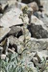 Artemisia eriantha Ten.