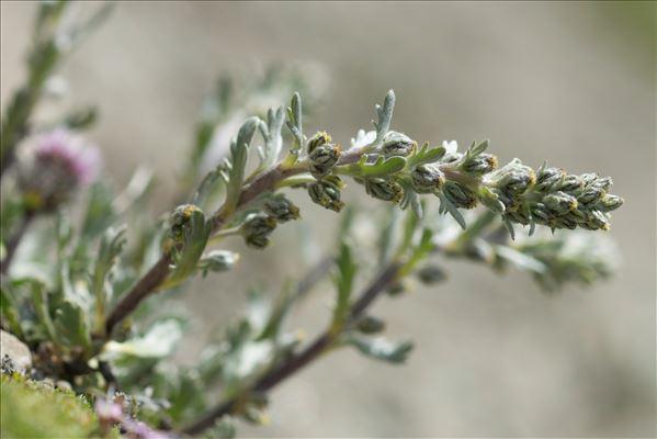 Artemisia genipi Weber