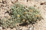 Photo 9/10 Artemisia glacialis L.