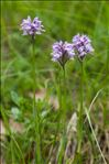 Photo 1/5 Neotinea tridentata (Scop.) R.M.Bateman, Pridgeon & M.W.Chase