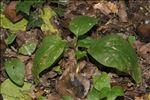 Arum pictum L.f.