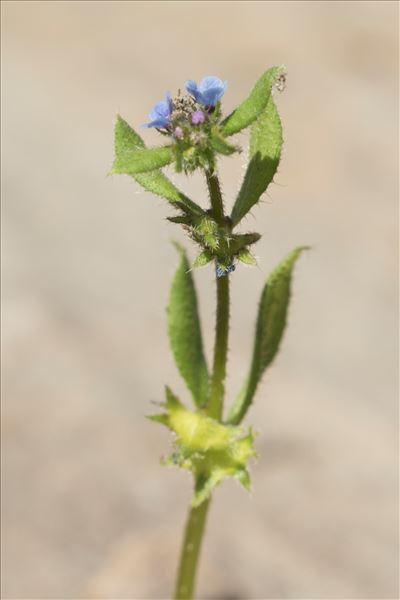Asperugo procumbens L.