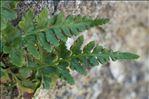 Asplenium obovatum subsp. billotii (F.W.Schultz) Kerguélen