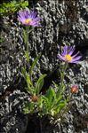 Aster alpinus L.