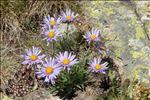 Photo 3/5 Aster alpinus L.