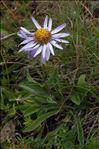 Photo 5/5 Aster alpinus L.