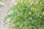 Photo 3/6 Astragalus boeticus L.