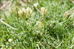 Photo 2/2 Astragalus cicer L.