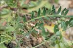 Photo 2/12 Astragalus hamosus L.