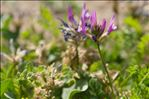 Photo 3/6 Astragalus onobrychis L.