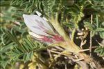 Astragalus sempervirens Lam.
