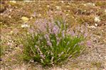 Photo 1/1 Calluna vulgaris (L.) Hull