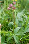 Astrantia major L. subsp. major