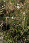 Photo 5/6 Astrantia minor L.