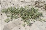 Photo 2/2 Atriplex laciniata L.