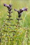 Bartsia alpina L.
