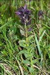 Photo 3/5 Bartsia alpina L.