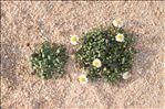 Photo 3/3 Bellium bellidioides L.